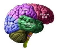 Brain th-2