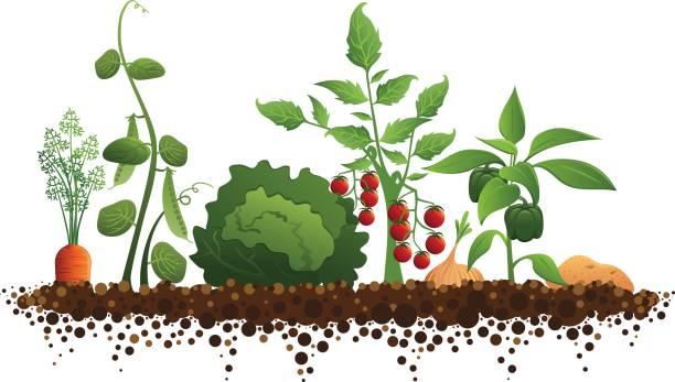 vegetable-garden-vector-id165638080.jpg